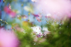 Untitled (けんたま/KENTAMA) Tags: autumn sky blue pink cosmos 秋 空 コスモス カラフル colorful planart1450 eos6d bokeh dream light 光