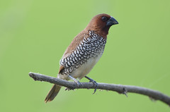 scaly-breasted munia (praveen.ap) Tags: scalybreastedmunia munia moharli tadoba