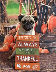 Happy Thanksgiving! (DaPuglet) Tags: pug pugs dog dogs pet pets animal animals thanksgiving holiday november thankful thanks pumpkins cute grateful blessings sign thanksgivingday quote