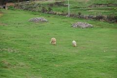 Peru Cusco - Saqsaywaman (Alf Igel) Tags: saqsaywaman peru cusco cuzco sacsayhuamán festung fortify castle burg inka inkas anden südamerika southamerica alpaca inca incas