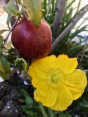 🍁Autumn Colors In My Garden (Chic Bee) Tags: autumn pomegranate newtransplant icelandpoppy centraltucson arizona usa northamerica americansouthwest southwesternusa colors flowerpot urban suburban sonorandesert leaves fruit