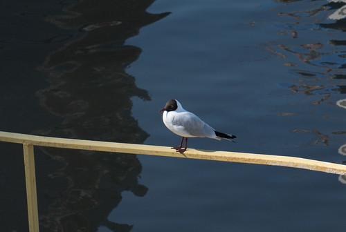Gull ©  Andrey