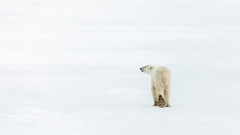 walking alone (Donald L.) Tags: canada manitoba churchill walking ice bear polar