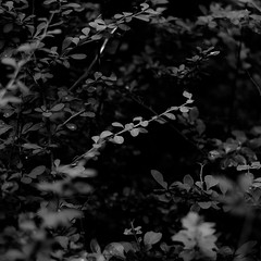 Quiet Corners 008 (noahbw) Tags: d5000 damno1woodseast dof nikon abstract blackwhite blackandwhite blur branches bw depthoffield dreamlike dreamy droplets forest leaves light lines monochrome natural noahbw quiet rain shadow square still stillness summer waterdrops wet woods