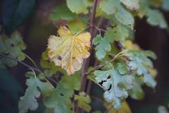 DSC09725 (Lens Lab) Tags: sony a7r achromat 100mm plants garden leaves