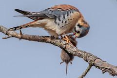 _KEF3843 (Kevin E Fox) Tags: kestrel americankestrel falcon raptor birdofprey newbritain pennsylvania peacevalley bird birding birdwatching birds sigma150600sport sigma nature nikond500 nikon