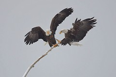 Bald eagles (Haliaeetus leucocephalus) in snowstorm 1 (rangerbatt) Tags: baldeagle haliaeetusleucocephalus eagle d7500 sigma150600mmsports utahwildlife bird wildutah baldeagleinflight eagleinflight bif birdinflight greatsaltlakewetlands explore