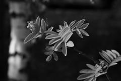 trees in monochrome (EllaH52) Tags: birch trunk rowan branches twigs leaves bokeh nature blackwhite monochrome greyscale