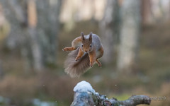 Red squirrel (sciurus vulgaris) (Gowild@freeuk.com) Tags: redsquirrel squirrel jumper jumping leaping cairngorms nationalpark abernethy forest woodland scotland scottish mammal wild wildlife animal nature andrewmarshall nikon uk