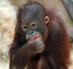 orangutan Sabbar Ouwehands 094A0091 (j.a.kok) Tags: orangutan orang orangoetan animal aap ape asia azie mammal monkey mensaap primate primaat zoogdier dier sabbar ouwehands