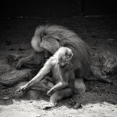When you snooze, you loose.. #monkey #monkeybusiness #monkeys #apes #aapjeskijken #animal #animals #animalphotography #blackandwhite #blacknwhite #bnw #bw #bws #noir #monochrome #zwartwit #bnwphotography #lovephotography #photographer #photography #fotogr (Chantal vander Reijden) Tags: blacknwhite monkey zwartwit bnw apes monkeys lovephotography monkeybusiness aapjeskijken fotografie animalphotography fotograaf blackandwhite bw outside monochrome animal noir bnwphotography photographer animals travel photography bws