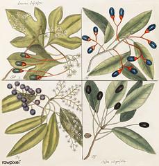 Tupelo Tree (Arbor in aqua nafeens) , Red Bay (Laurus Carolinenfis), Purple-berried Bay (Liguftrum Lauri folio), Saffafras Tree (Cornus Mas odorato) from The Natural History of Carolina, Florida, and the Bahama Islands (1754) by Mark Catesby (1683-1749). (Free Public Domain Illustrations by rawpixel) Tags: bahama andthebahamaislands arbor bay berry botanical botanics botany carolina carolinenfis catesby cornus decoration drawing environment flora florida flower folio green handdrawn history illustration island lauri laurus leaf liguftrum mark markcatesby mas nafeens name natural nature odorato plant purple red retro saffafras sketch spring thenaturalhistoryofcarolina tree tropical tupelo vintage