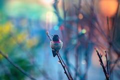 Cold Morning Anna's Hummingbird (zenseas) Tags: autumn phinneyridge washington fall wpz calypteanna annashummingbird notanexhibit morning hummingbird woodlandparkzoo seattle cold bokeh holiday holidaybokeh