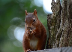 Red Squirrel - IOW (Alan Woodgate) Tags: squirrel red wild iow