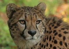 cheetah Burgerszoo 094A0442 (j.a.kok) Tags: cheetah jachtluipaard animal cat kat predator acinonyxjubatus acinonyxjubates mammal zoogdier dier africa afrika burgerszoo burgerzoo