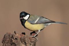 Un po di privacy no eh!!!!!! (Marcello Giardinazzo) Tags: cinciallegra parusmajor avifauna birds bird natura uccelli