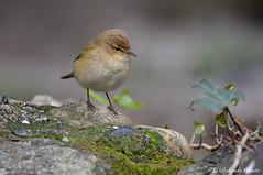 Luì piccolo _018 (Rolando CRINITI) Tags: luìpiccolo uccelli uccello birds ornitologia avifauna arenzano natura