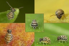 Fasciosminthurus quinquefasciatus ssp. canariensis (marie1179) Tags: collembola colémbola hoppstjärt springtail springstaart springschwänze symphypleona bourletiellidae macro lanzarote fasciosminthurusquinquefasciatus