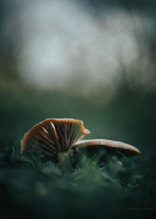 consuming in pairs (robert.lindholm87) Tags: canon canoneosr eos canonfd 50mm mushroom mushrooms niftyfifity macro closeup bokeh lightroom sweden nature fungus wallpaper green dof autumn close blur