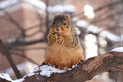Fox Squirrels on a Cold, Snowy Day in Ann Arbor at the University of Michigan - January 29th, 2019 (cseeman) Tags: gobluesquirrels squirrels foxsquirrels easternfoxsquirrels michiganfoxsquirrels universityofmichiganfoxsquirrels annarbor michigan animal campus universityofmichigan umsquirrels01292019 winter eating peanuts januaryumsquirrel snowing snow snowstorm squirrelsandsnow snowysquirrels cavitynest nest leftysquirrel