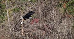 Success - Bald Eagle catches a mallard (foto tuerco) Tags: bald eagle success prey raptor oregon mallard duck