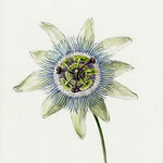 Passion Flower (1825) by Jean Bernard (1775-1883). Original from The Rijksmuseum. Digitally enhanced by rawpixel. thumbnail