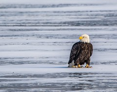 Bald Eagle in the sunshine . . . (Dr. Farnsworth) Tags: large bird eagle baldeagle adult white tail head ice muskegon mi michigan fall december2018