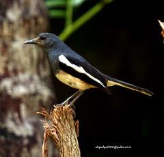 IMG_3165 Oriental Magpie Robin (Copsychus saularis) (vlupadya) Tags: greatnature animal bird aves fauna indianbirds oriental magpie robin copsychus kundapura karnataka