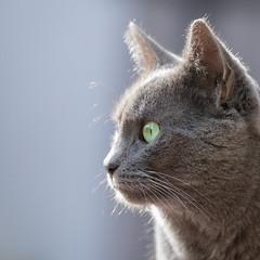 Siva im Profil (Jana`s pics) Tags: katze haustier hauskatze tier cat animal pet feline grau grey profil face gesicht portrait greeneyes grüneaugen ohren ears stubentiger