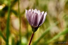 Margarita cerrada (EFD-fotolab) Tags: margarita macrofotografia macro nikon naturaleza españa flores flowers