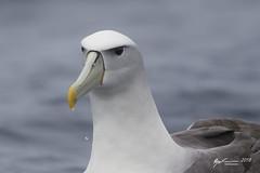 White-capped Albatross (R. Francis) Tags: thalassarchecautasteadi whitecappedalbatross ryanfrancis ryanfrancisphotography tasmania tassie tasmanpeninsula tas eaglehawkneck