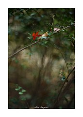 2018/12/8 - 9/15 photo by shin ikegami. - SONY ILCE‑7M2 / Lomography New Jupiter 3+ 1.5/50 L39/M (shin ikegami) Tags: 紅葉 macro マクロ 井の頭公園 吉祥寺 winter 冬 sony ilce7m2 sonyilce7m2 a7ii 50mm lomography lomoartlens newjupiter3 tokyo sonycamera photo photographer 単焦点 iso800 ndfilter light shadow 自然 nature 玉ボケ bokeh depthoffield naturephotography art photography japan earth asia