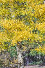 Autumn Color on US 550 in Colorado JN113661 (JaniceNolan_braud) Tags: americanaspen aspen aspenleaves aspentree aspentrees colorado gold golden milliondollarhighway northamerica populustremuloides quakingaspen sanjuanmountains sanjuanscenicbyway sanjuanskyway sanjuanskywayscenicbyway trees us550 us550highway unitedstates autumn autumncolor autumncolour byway clonalcolonies clonalcolony color commonroot fallcolor fallcolour glow goldenglow highway hue landscape oneorganism plant road scenicbyway scenicdrive scenichighway season singleorganism stateofcolorado tree