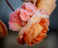 Happy New Year (LuckyMeyer) Tags: flower fleur garden frost ice winter blume blüte rose makro