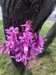 fleur-rose-à-l'arbre© (alexandrarougeron) Tags: photo alexandra rougeron fleur plante nature flickr