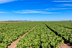 Lettuce Field (http://fineartamerica.com/profiles/robert-bales.ht) Tags: arizona facebook farming fineart flickr haybales landscape people photo photouploads places projects scenic somerton states winterlettuce sunrise yellow farm crop truckfarm lettuce agriculture farmphotography yuma imperialvalley southwest arizonaphotography panoramic sensational spectacular awesome magnificent peaceful inspirational robertbales sceniclandscapephotography green greetingcards farmlandscape rill iphone vegetable romaine head sonoradesert welton bunch