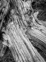 Gnarly (gljorgen) Tags: old weathered tree stump lilylake rmnp