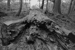 fallen tree (ababhastopographer) Tags: graytones tone softhard nara kasugayama takisakanomichi winter midday yagyuroad fallentree acros 奈良 春日山 滝坂道 柳生街道 冬 倒木