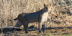 2 Suprised It Too (Kaptured by Kala) Tags: bobcat wildcat bigcat lynxrufus carnivore predator hunter whiterocklake dallastexas reinhartbranch mammal camouflage golden healthy large sunshineandshadows