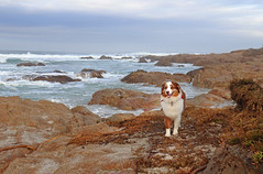Shore Dog (skipmoore) Tags: asilomar ocean surf quincy dog pet shore pacificgrove