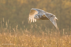 Snowy Owl - Autumn sunrise 501_3670.jpg (Mobile Lynn) Tags: birds owlsrelatives inflight snowyowl owl autumnal nature autumn bird buboscandiacus fauna flight flying strigiformes whiteowl wildlife nocturnal rimavskásobota banskábystricaregion slovakia sk coth5 ngc npc