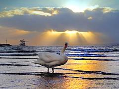 Largs Sunset Swan (g crawford) Tags: largs swan sunset ayrshire northayrshire clyde firthofclyde cumbrae hunterston water sea bird sundown yellow orange muteswan sky weather riverclyde crawford 184 pod potd pictureoftheday herald glasgowherald