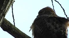 Red-tailed Hawk_8405.mp4 (Henryr10) Tags: ottoarmlederpark hamiltoncountyparkdistrict cincinnati ottoarmledermemorialpark armlederpark littlemiamiriver greatparksofhamiltoncounty usa beanfield overlookwoods