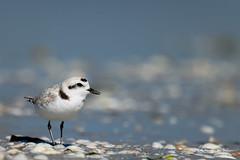 Snowy (craig goettsch - out shooting) Tags: sanibel2018 snowyplover plover endangered beach shells bird avian wildlife nature nikon d850