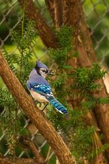 Blue Jay (Zawodowy Fotograf) Tags: bird nature blue jay bayonne nj canon 5d mark iii 100400 l