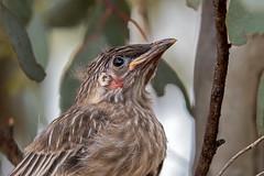 Red Wattlebird (Mark Leary) Tags: bird redwattlebird ouryard mudgee