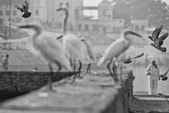 0907 Morning Crowd (Hrvoje Simich - gaZZda) Tags: outdoors birds people blackwhite monochrome pushkar india asia travel nikon nikond750 sigma150500563 gazzda hrvojesimich