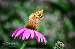 Butterfly atop a coneflower (Candy McDonald) Tags: nature naturephotography nikon photography nikonphotography nikkor flowers botanical garden blooms butterfly fritillary coneflower macro
