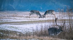 20190131-1120-20 (Don Oppedijk) Tags: amsterdamsewaterleidingduinen awd fallowdeer damherten cffaa snow