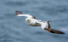 Gannet 07-Sept-18  M_007 (gomo.images) Tags: 2018 aberdeenshire bird country gannet nature scotland trouphead years